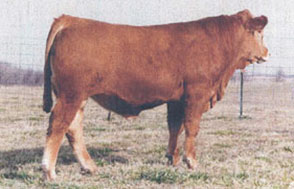 Gelbvieh | Beef Breeding Services