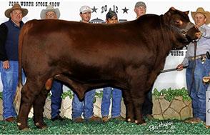 Santa Gertrudis | Beef Breeding Services