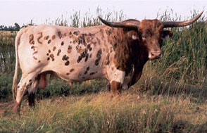 Texas Longhorn | Beef Breeding Services